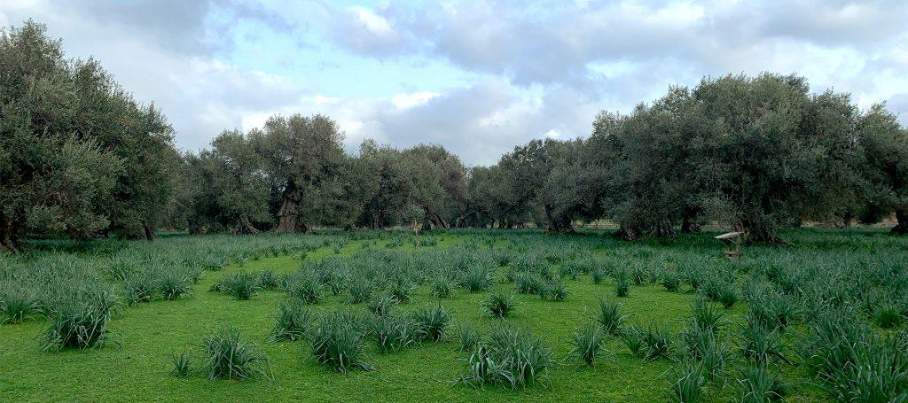 Sardiniens größter Olivenhain S'Ortu Mannu